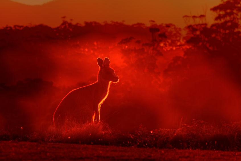 Macropus+giganteus+-+Eastern+Grey+Kangaroo%2C+standing+close+to+the+fire+in+Australia.+Burning+forest+in+Australia.